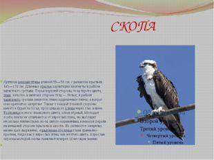 СКОПА Крупнаяхищная птицадлиной 55—58см, с размахом крыльев 145—170см. Д
