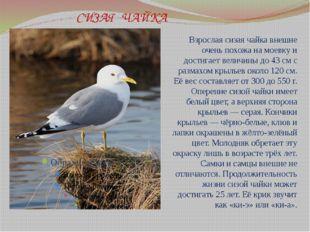 СИЗАЯ ЧАЙКА Взрослая сизая чайка внешне очень похожа намоевкуи достигает в