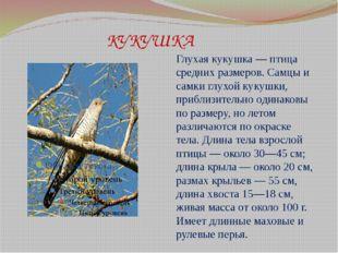 КУКУШКА Глухая кукушка — птица средних размеров. Самцы и самки глухой кукушк