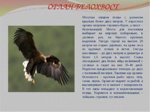 ОРЛАН-БЕЛОХВОСТ Могучая хищная птица с размахом крыльев более двух метров. У