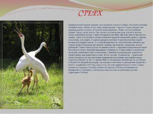 СТЕРХ Крупный белый журавль выводит свое потомство только в Сибири. Это вели