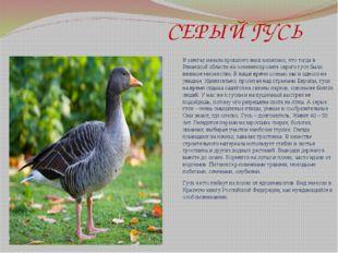 СЕРЫЙ ГУСЬ В книгах начала прошлого века написано, что тогда в Рязанской обл