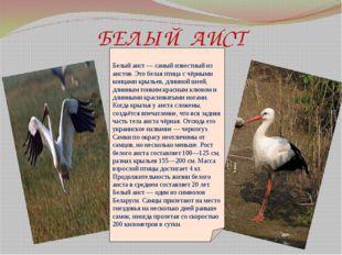 БЕЛЫЙ АИСТ Белый аист— самый известный из аистов. Это белая птица с чёрными