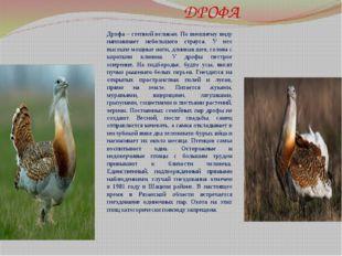 ДРОФА Дрофа – степной великан. По внешнему виду напоминает небольшого страус