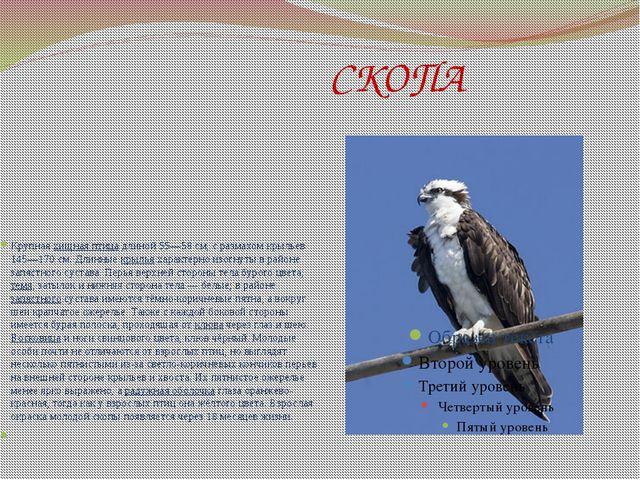 СКОПА Крупнаяхищная птицадлиной 55—58см, с размахом крыльев 145—170см. Д...