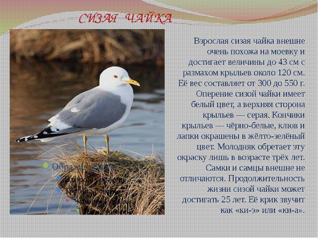 СИЗАЯ ЧАЙКА Взрослая сизая чайка внешне очень похожа намоевкуи достигает в...