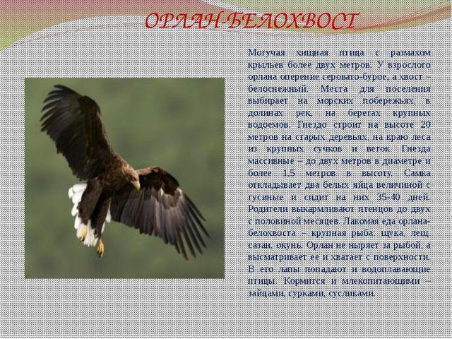 ОРЛАН-БЕЛОХВОСТ Могучая хищная птица с размахом крыльев более двух метров. У...