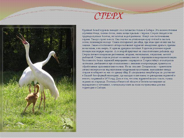 СТЕРХ Крупный белый журавль выводит свое потомство только в Сибири. Это вели...