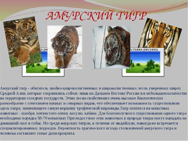 АМУРСКИЙ ТИГР Амурский тигр - обитатель хвойно-широколиственных и широколиств...