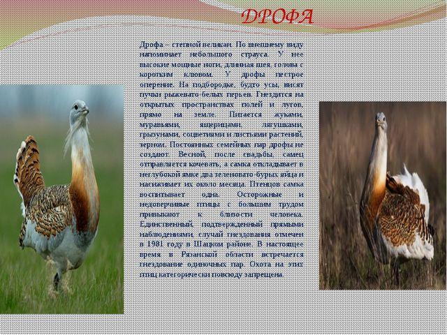 ДРОФА Дрофа – степной великан. По внешнему виду напоминает небольшого страус...