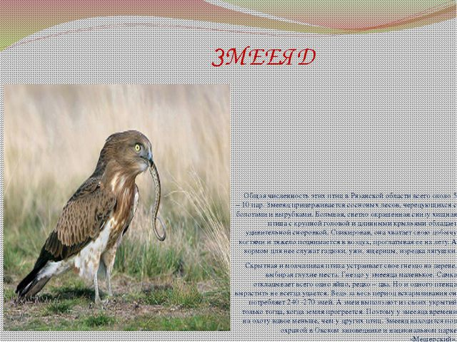 ЗМЕЕЯД Общая численность этих птиц в Рязанской области всего около 5 – 10 па...
