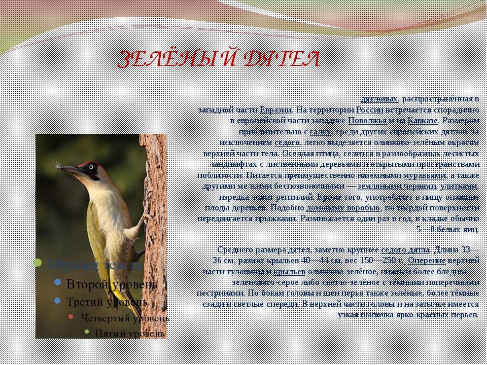 ЗЕЛЁНЫЙ ДЯТЕЛ Зелёный дя́тел— птица семействадятловых, распространённая в...