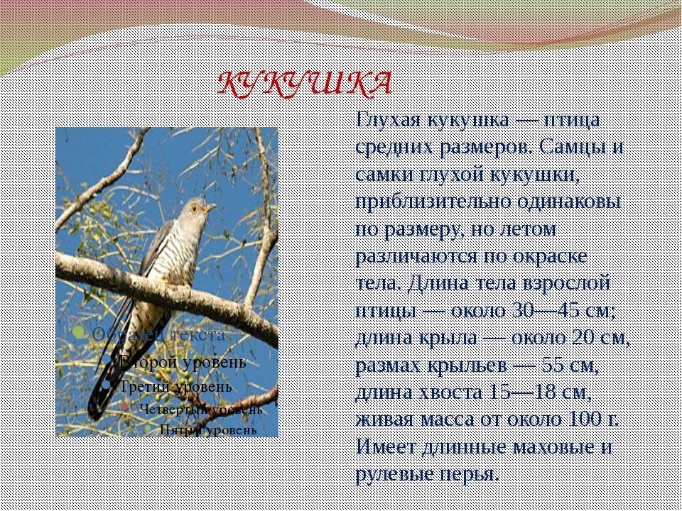 КУКУШКА Глухая кукушка — птица средних размеров. Самцы и самки глухой кукушк...