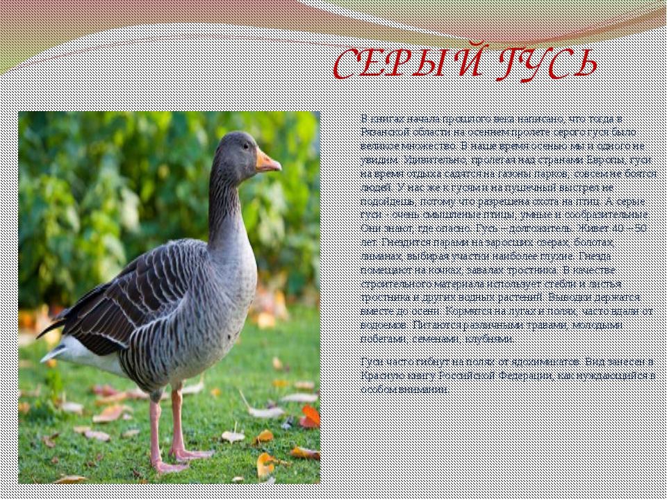 СЕРЫЙ ГУСЬ В книгах начала прошлого века написано, что тогда в Рязанской обл...