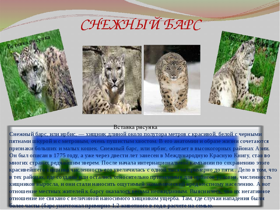 СНЕЖНЫЙ БАРС Снежный барс, или ирбис, — хищник длиной около полутора метров с...