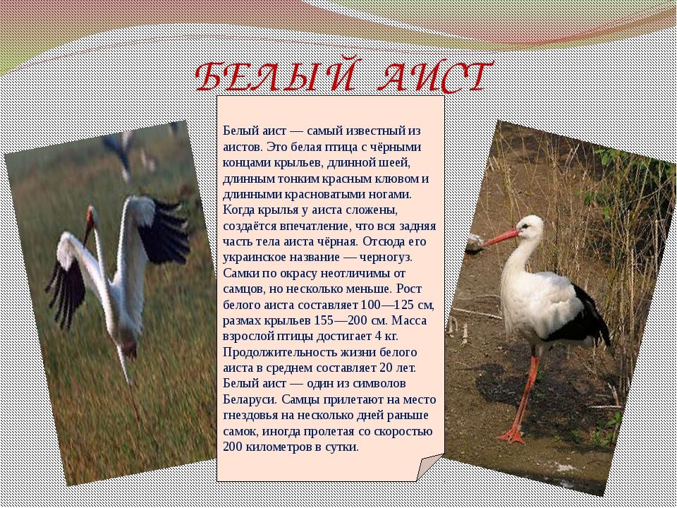 БЕЛЫЙ АИСТ Белый аист— самый известный из аистов. Это белая птица с чёрными...