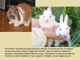 КРОЛИКИ- ближайшие родственники зайцев. Отличаются они от зайцев более коротк