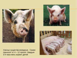 Свиньи существа всеядные. Самки приносят от 4 – 12 просят. Каждые 3-4 часа ма