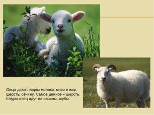 Овцы дают людям молоко, мясо и жир, шерсть, овчину. Самое ценное – шерсть. Шк