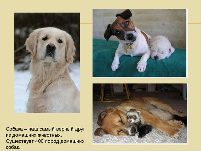 Собака – наш самый верный друг из домашних животных. Существует 400 пород дом...
