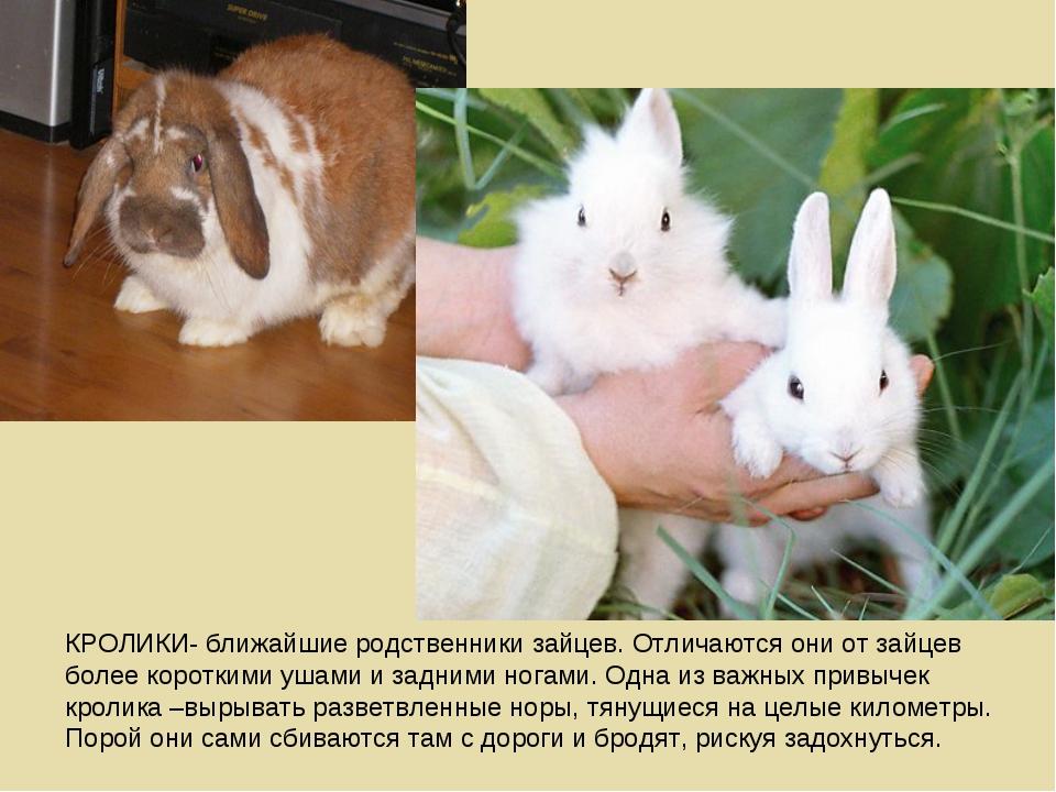 КРОЛИКИ- ближайшие родственники зайцев. Отличаются они от зайцев более коротк...