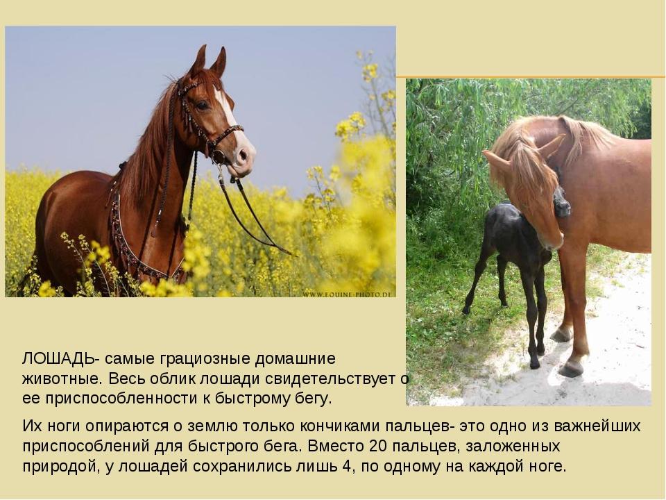 ЛОШАДЬ- самые грациозные домашние животные. Весь облик лошади свидетельствует...