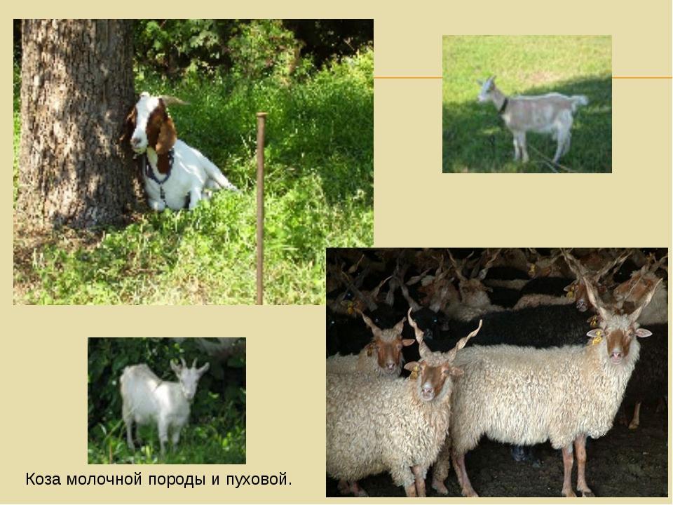 Коза молочной породы и пуховой.