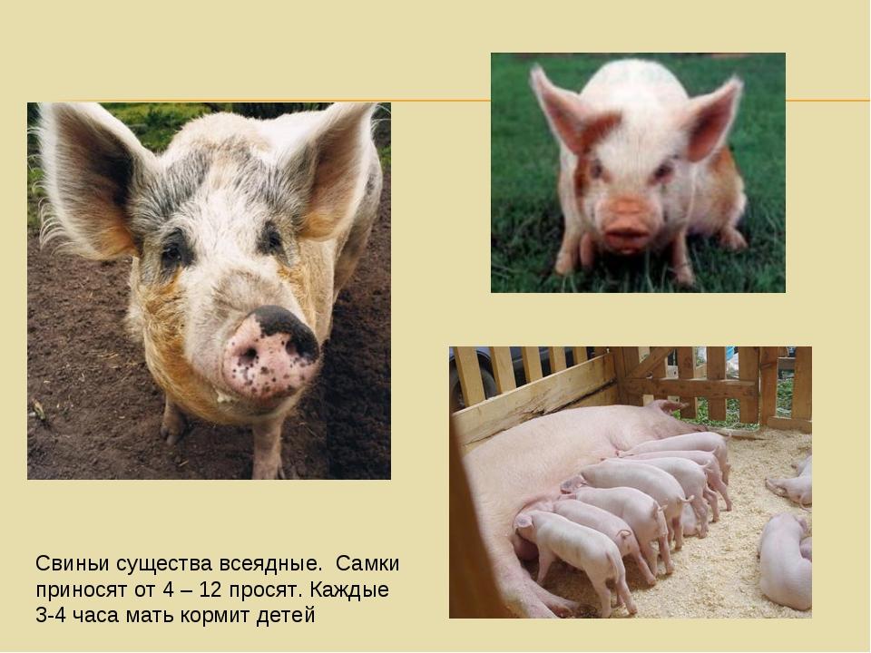 Свиньи существа всеядные. Самки приносят от 4 – 12 просят. Каждые 3-4 часа ма...