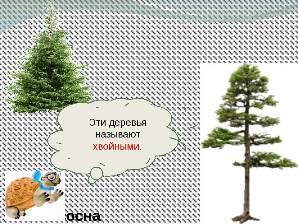 сосна Эти деревья называют хвойными.