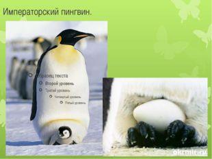 Императорский пингвин.