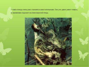 У чомги птенцы очень рано становятся самостоятельными. Они уже давно умеют пл