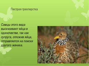 Пестрая трехперстка Самцы этого вида высиживают яйца в одиночестве, так как с