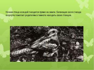 Ночная птица козодой гнездится прямо на земле. Белеющая около гнезда скорлупа