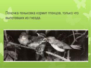 Пеночка-теньковка кормит птенцов, только что вылетевших из гнезда.