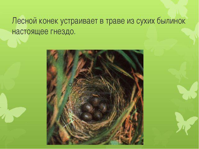 Лесной конек устраивает в траве из сухих былинок настоящее гнездо.