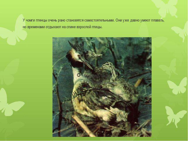 У чомги птенцы очень рано становятся самостоятельными. Они уже давно умеют пл...