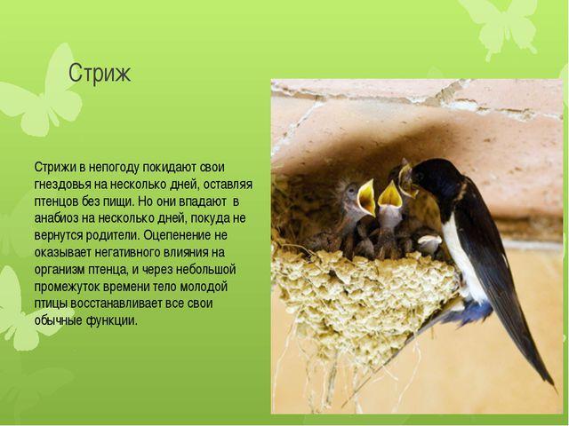 Стриж Стрижи в непогоду покидают свои гнездовья на несколько дней, оставляя п...