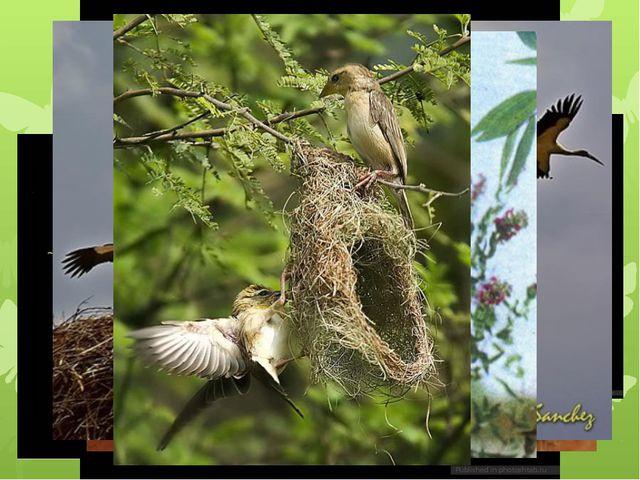 Забота потомства у птиц – постройка гнезда.
