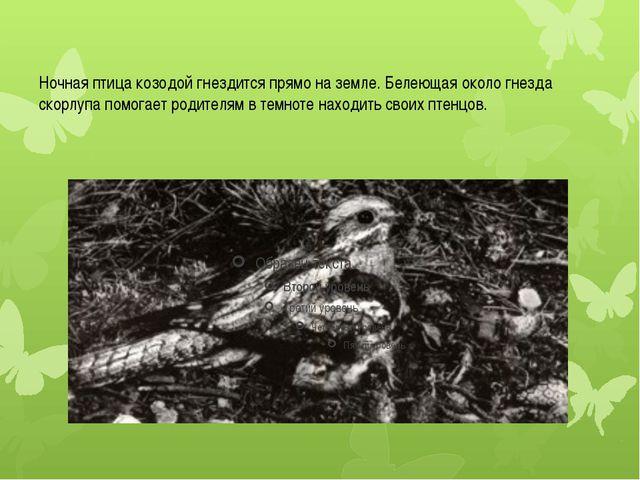 Ночная птица козодой гнездится прямо на земле. Белеющая около гнезда скорлупа...