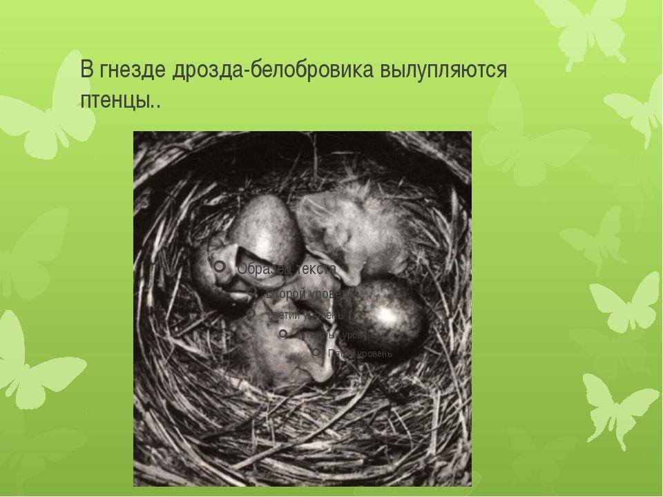 В гнезде дрозда-белобровика вылупляются птенцы..