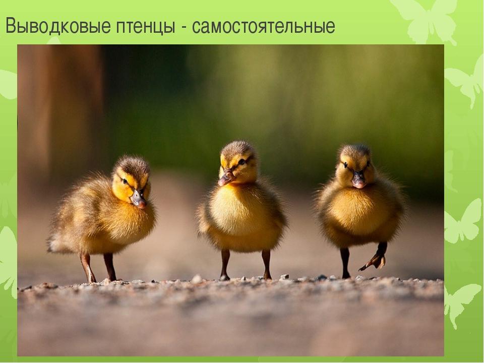 Выводковые птенцы - самостоятельные