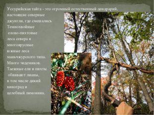 Уссурийская тайга - это огромный естественный дендрарий, настоящие северные д