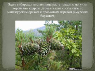 Здесь сибирская лиственница растет рядом с могучим корейским кедром, дубы и к