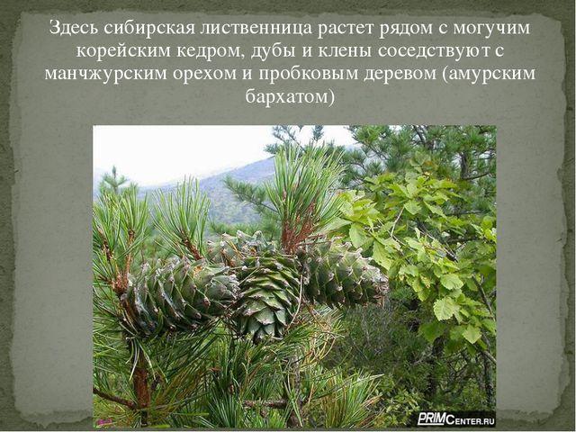 Здесь сибирская лиственница растет рядом с могучим корейским кедром, дубы и к...