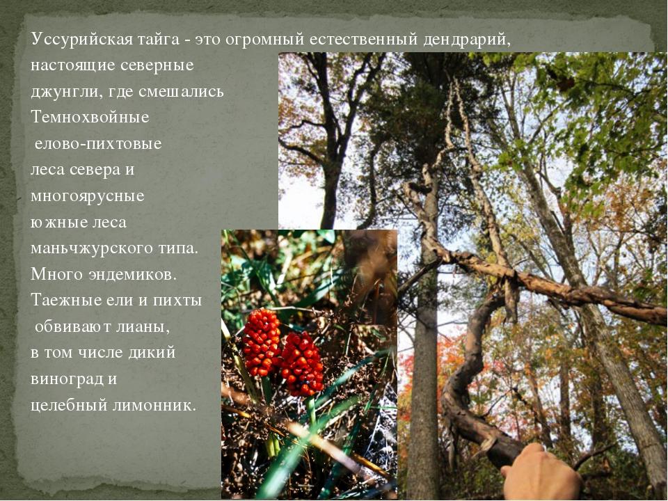 Уссурийская тайга - это огромный естественный дендрарий, настоящие северные д...