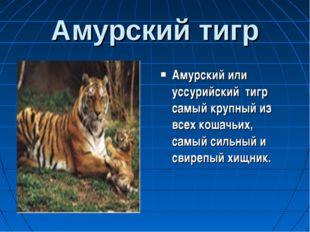 Амурский тигр Амурский или уссурийский тигр самый крупный из всех кошачьих, с