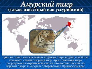 один из самых малочисленных подвидов тигра подвид семейства кошачьих, самый с
