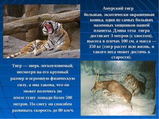 Амурский тигр большая, экзотически окрашенная кошка, один из самых больших на