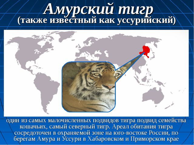 один из самых малочисленных подвидов тигра подвид семейства кошачьих, самый с...