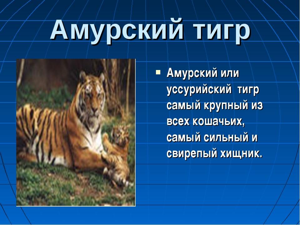 Амурский тигр Амурский или уссурийский тигр самый крупный из всех кошачьих, с...
